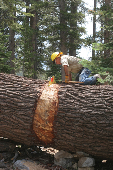 Wilderness Ranger John Glenn is perched atop a red fir preparing it for the crosscut saw on the Mammoth Trail in the Ansel Adams Wilderness.